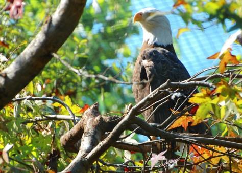 Eagle poses. Photo byBarbara Mattio