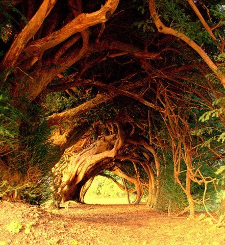 1000 year old trees in wales