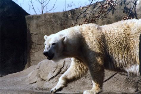 Polar Bears are losing their environment