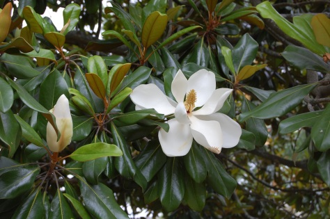 Magnolias in North Carolina. Photo copyrighted by Barbara Mattio 2013
