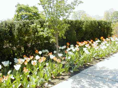 The tulips have arrived. Photograph copyrighted by  Barbara Mattio 2012
