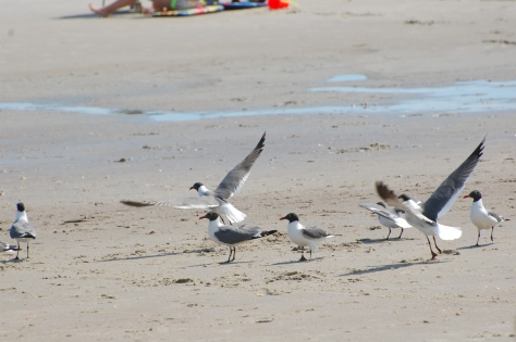 The seagulls love to clean up food left in the sand.