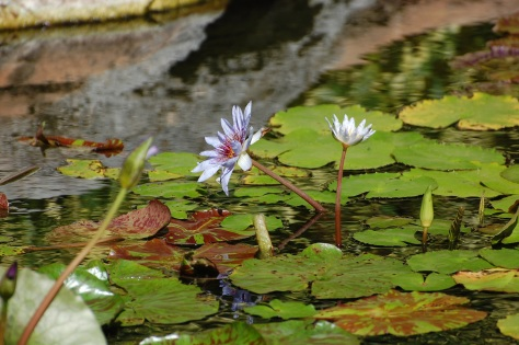 The fragrance of Water lilies stirs ones heart as the carress of a lover.  Photograph taken and copyrighted by Brabara Mattio 2013