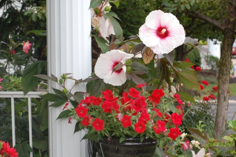 Red petunias and hardy Hibiscus. Flowers grown and photographed by Barbara Mattio; 2013