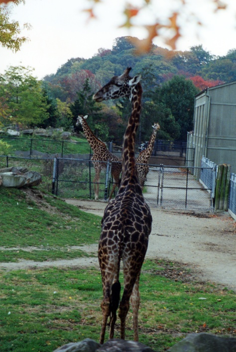 A beautiful group of Giraffe