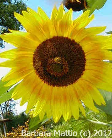 This sunflower was growing in my daughter's backyard. It gave off so much beautiful energy I had to take the photograph. Copyrighted 2007 by Barbara Mattio