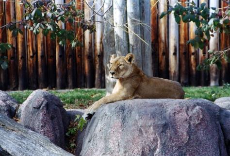 Female lion on watch