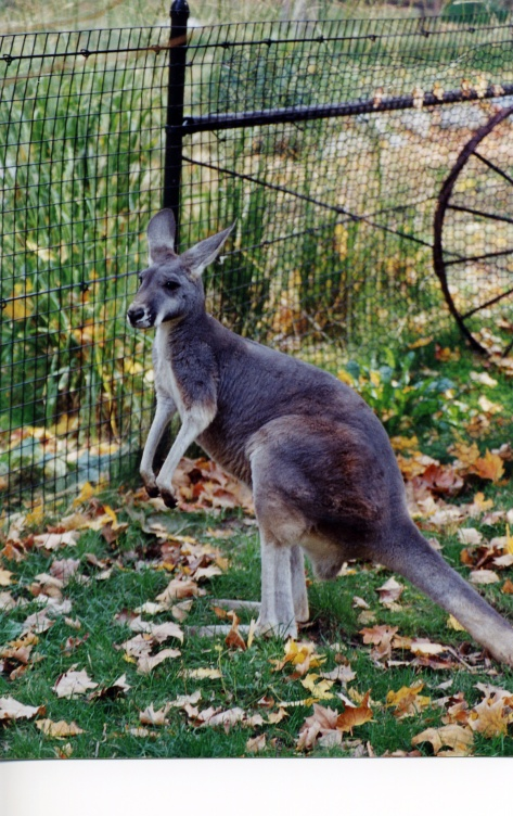 This roo just finished an arguement with another roo.