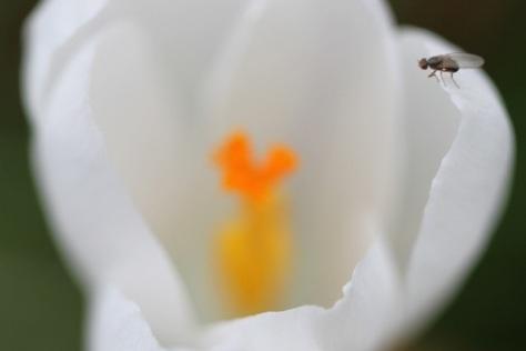 crocus, the symbol of spring.
