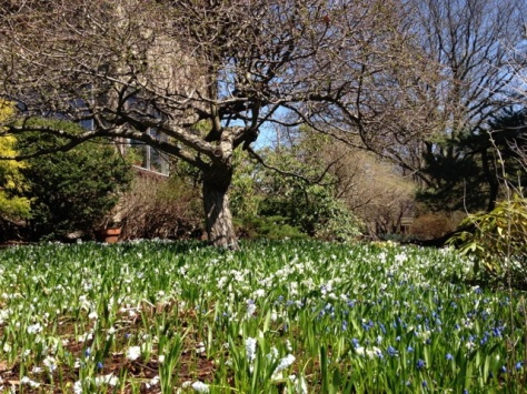 Bluebells and snowdrops at foot of tree