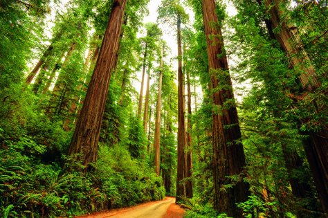 Redwood trees on the West Coast