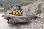 Ziphius_1-4-2014_SE_Crete_Greece