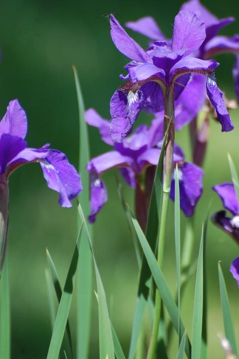 Dwarf Irises. Photograph taken and copyrighted by Barbara Mattio 2014