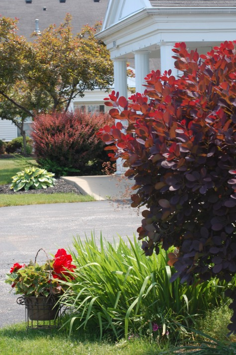 Smoke bush and non stop begonias. Photographed and copyrighted by Barbara Mattio 2014