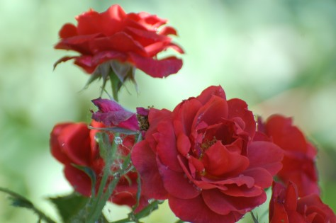 Red roses for the heart. Photographed and copyrighted by Barbara Mattio 2014