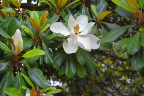 Magnolia tree in bloom Photographed and copyrighted by Barbara Mattio 2010