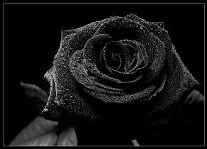 black rose wallpaper-1