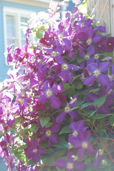 Clematis. Photographed and copyrighted by Barbara Mattio 2014