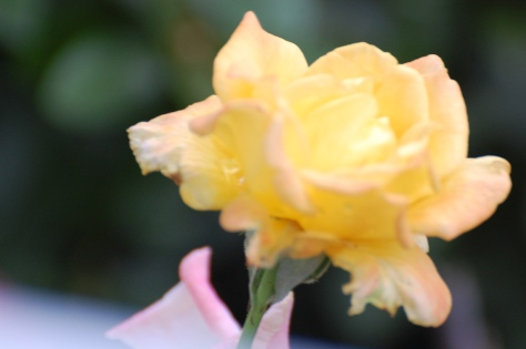 The Rio Rose. Photographed and copyrighted by Barbara Mattio 2014