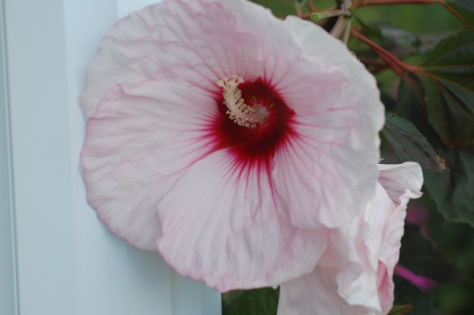 Hardy Hibiscus. Photographed and copyrighted by Barbara Mattio 2014