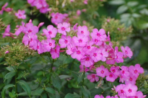 Phlox. Photographed and copyrighted by Barbara Mattio 2014