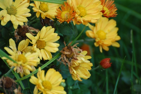 Hardy Mums.  Photographed and copyrighted by Barbara Mattio 2014