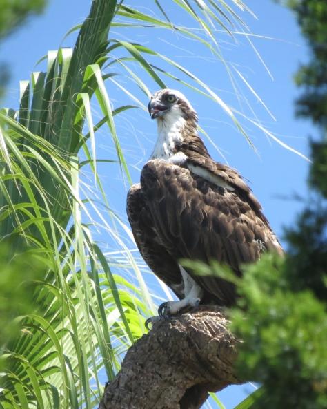 Papa osprey from Sand Key, Clearwater, FL
