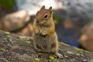 Cute-Chipmunk