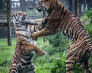 Wild Tigers at Play