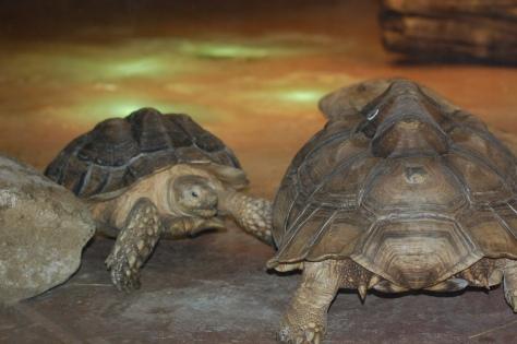 Tortoises - Cleveland Aquarium - Copyright Barbara Mattio 2015
