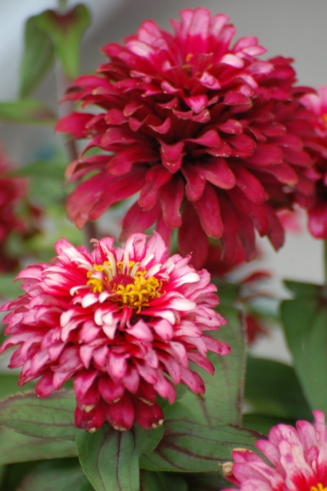 Zinnias grown, photographed and copyrighted by Barbara Mattio 2014