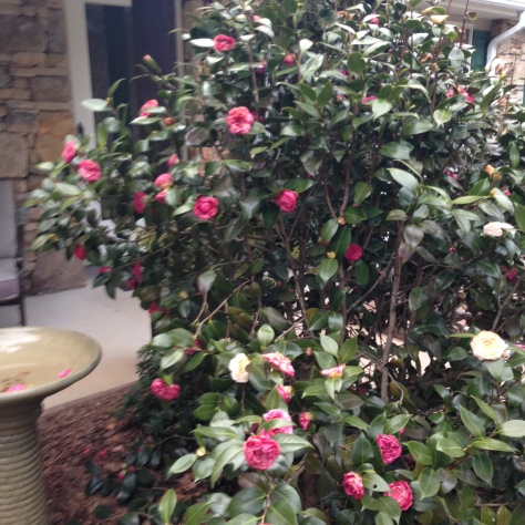 Camelia in bloom Photograph and copyright by Barbara Mattio, 2016
