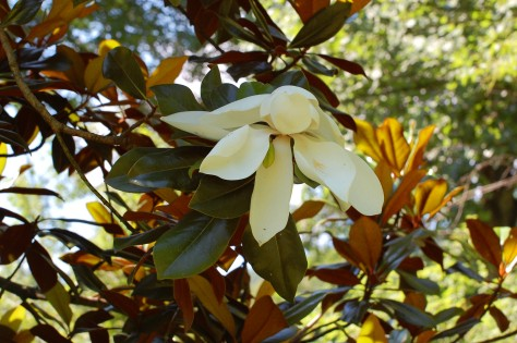 Magnolia blooming in Black Mountain, NC. Photograph and copyright by Barbara Mattio, 2010
