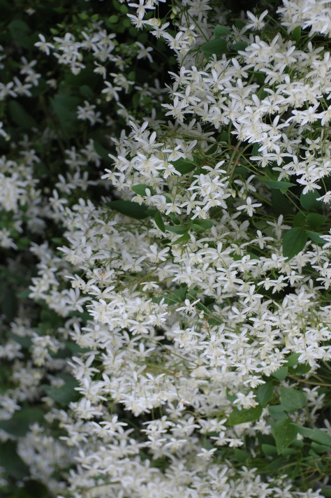 Autumn blooming white Clematis Avon OH Photograph and Copyright Barbara Mattio 2009
