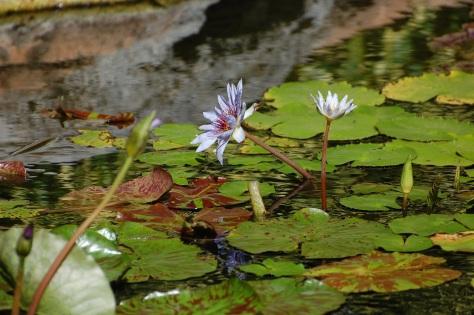 Water Lily garden, Caribbean. Photograph and copyright by Barbara Mattio, 2013