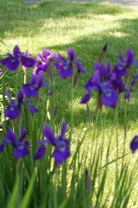 Dutch Irises. Photograph and copyright by Barbara Mattio, 2015