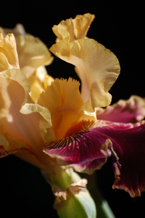 Golden Iris. Photograph and copyright by Barbara Mattio, 2014