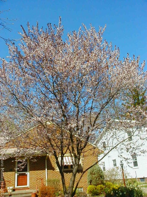 Flowing Plum Tree in bloom. In memory of my late husband. Bay Village, OH Photograph and Copyright Barbara Mattio 2006