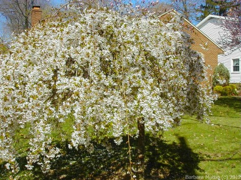Weeping Cherry in Bloom. Bay Village, OH Photograph and Copyright Barbara Mattio 2006