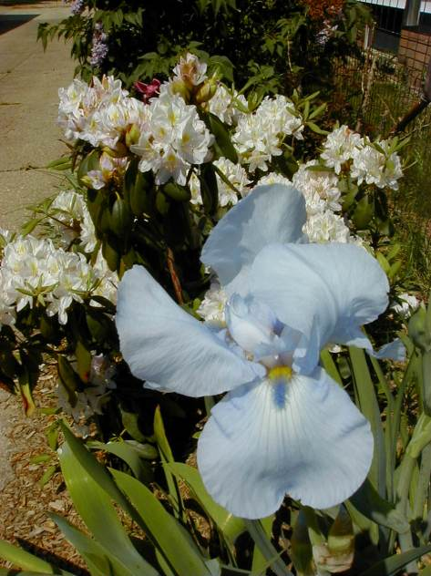 Iris and Rhody