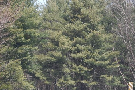 Evergreens. Photograph and copyright by Barbara Mattio, 2014