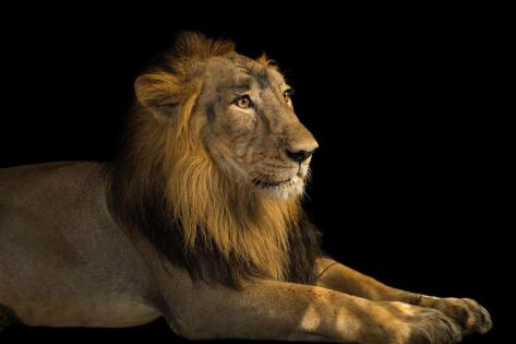 01-asiatic-lion.adapt.1190.1
