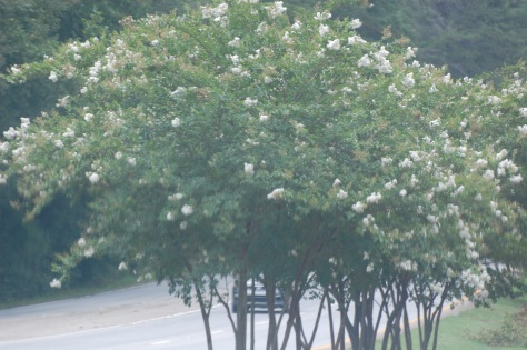 White Crepe Myrtle Photograph and Copyright by Barbara Mattio 2016