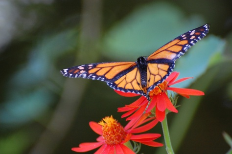Real Monarch Butterfly on Flower