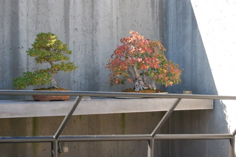 Bonsai in autumn. Photograph and copyright by Barbara Mattio,2016