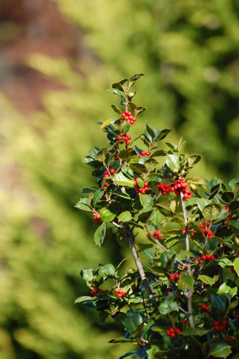 Holly and berries. Photograph and copyright by Barbara Mattio, 2016