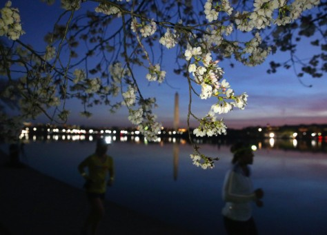 Joggers run past blooming cherry blossoms that surround the Tidal Basin on March 24. The National Park Service had predicted that the cherry blossom trees would reach peak bloom later that day. Getty